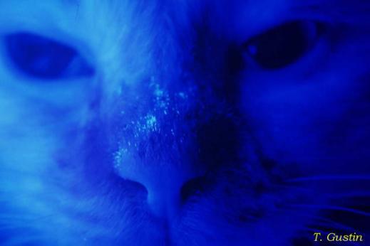 microsporun canis lampada de woods